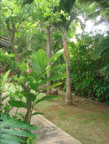Tropical plants all around Kailua home